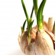 Germinate garlic — Stock Photo #2348666