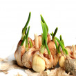 Germinate garlic — Stock Photo #2348780