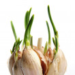 Germinate garlic - Stock Photo