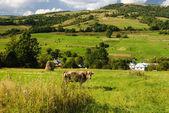 Cow graze in field — Stock Photo
