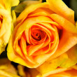 Bright yellow roses — Stock Photo