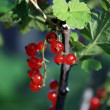 Red currant (close-up) a sunny afternoon — Stock Photo