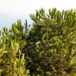 Cedar in the mountain near sea — Stock Photo