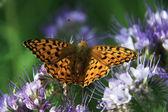 Бабочки - монарха — Стоковое фото