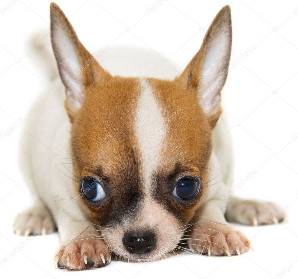 Chihuahua dog isolated  Stock Photo #1129919