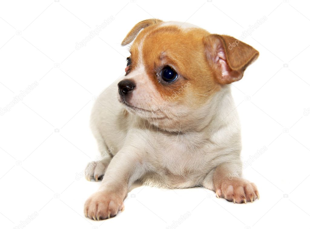 Chihuahua dog isolated — Stock Photo #1129921