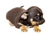 Chihuahua dog on white background — Stock Photo
