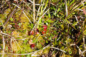 Cranberries on the bog — Stock Photo