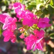 Bougainvillea flowers — Stock Photo #1530476