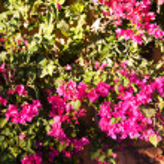 Bougainvillea flowers — Stock Photo #1809113