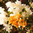 Bougainvillea flowers — Stock Photo #1809141