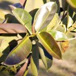 Home plant (ficus) leave - Stock Photo