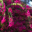 Bougainvillea flowers — Stock Photo #1870288