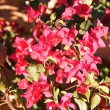 Bougainvillea flowers — Stock Photo #1870481