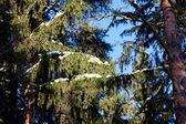 Krásné zimní lesní krajina — Stock fotografie