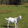 Stock Photo: White goat on leash