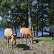 Horses on coast of lake Teletskoe — Stock Photo