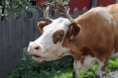 The lowing cow — Stock Photo