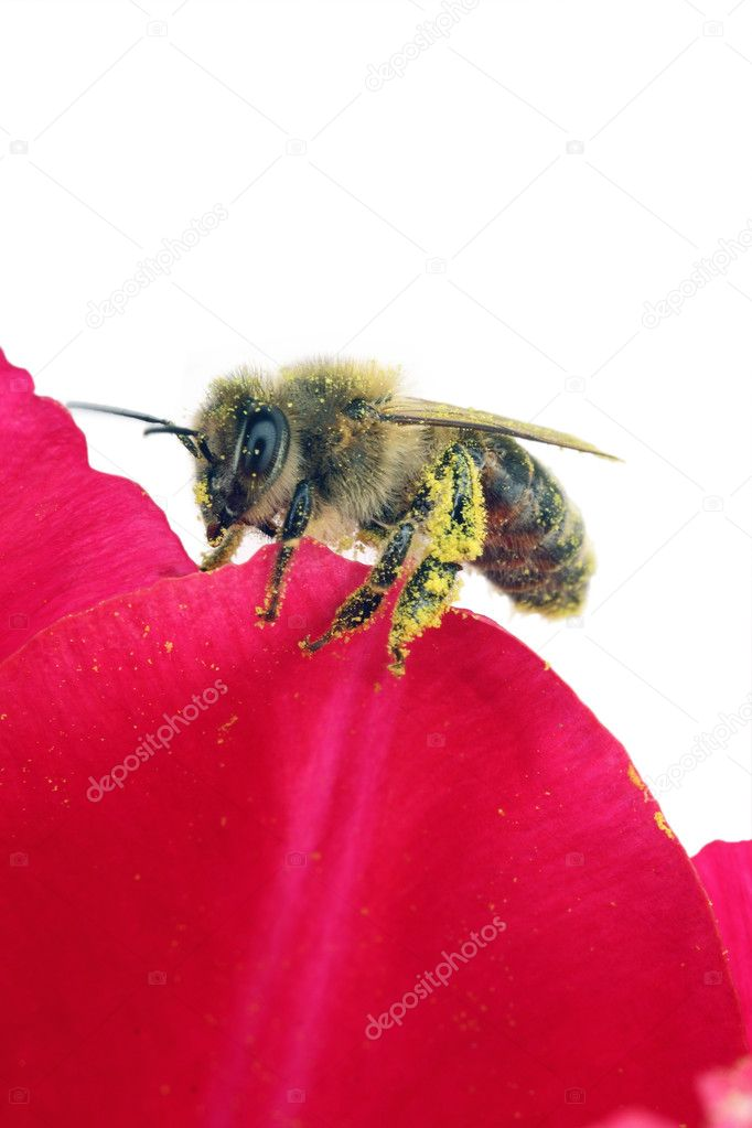 The bee who has been stuck round by pollen. The white background is suitable for your text! — Stock Photo #1175867