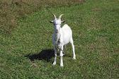 The white goat — Stock Photo