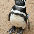Black and white penguin — Stock Photo
