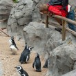 Young man watching penguins — Stock Photo