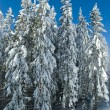 Fir trees — Foto Stock