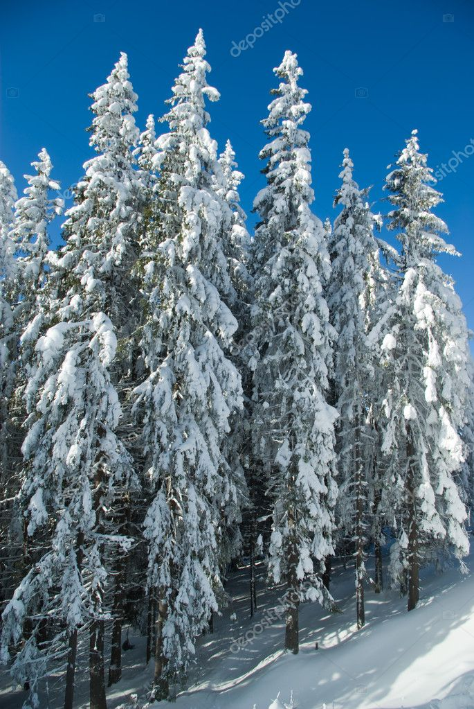 Fir trees covered with snow — Zdjęcie stockowe #1131900