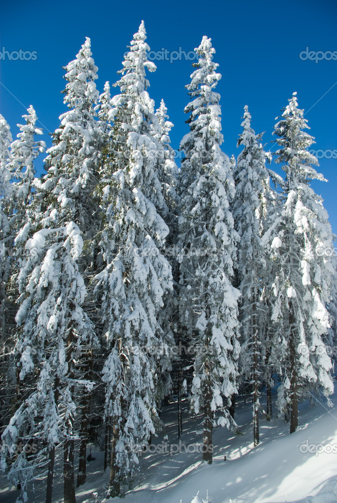 Fir trees covered with snow — Stok fotoğraf #1131900
