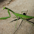 Mantis — Stock Photo