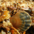 Stock Photo: Cockleshells on beach (2)