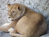 The lioness has a rest — Stock Photo