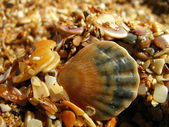 Cockleshells on the beach (2) — Stock Photo