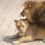 ������, ������: Lion