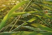 Green cane — Stock Photo