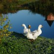 Stock Photo: Three white geese on river