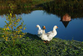 Three white geese on the river — Stock Photo