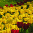 World of tulips — Stock Photo