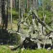 Pine stump in the Karelian forest — Stock Photo