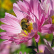 Bee on daisy — Stock Photo