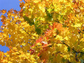 Yellow Autumn Leaves. — Stock Photo