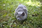 British blue cat — Stock Photo