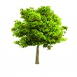 Lone green tree isolated on white — Stock Photo #1153541