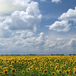 Field of sunflowers on a background of t - Stock Photo