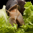 Royalty-Free Stock Photo: Snail on lettuce