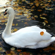 Swimming swan in autumn park - Stock Photo