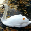 Swimming swan in autumn park — Foto Stock