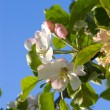 apple blossom&quot — Stock Photo