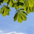 Leaves of a chestnut — Stock Photo