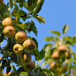 Stock Photo: Ripe pears on a branch